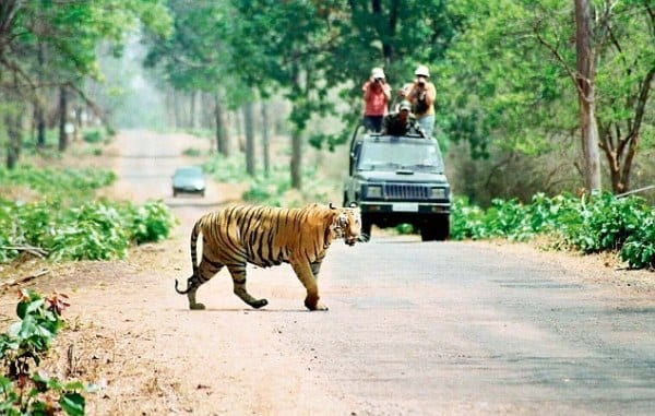 Tadoba Andhari, Pench Tiger Reserves open doors for tourists
